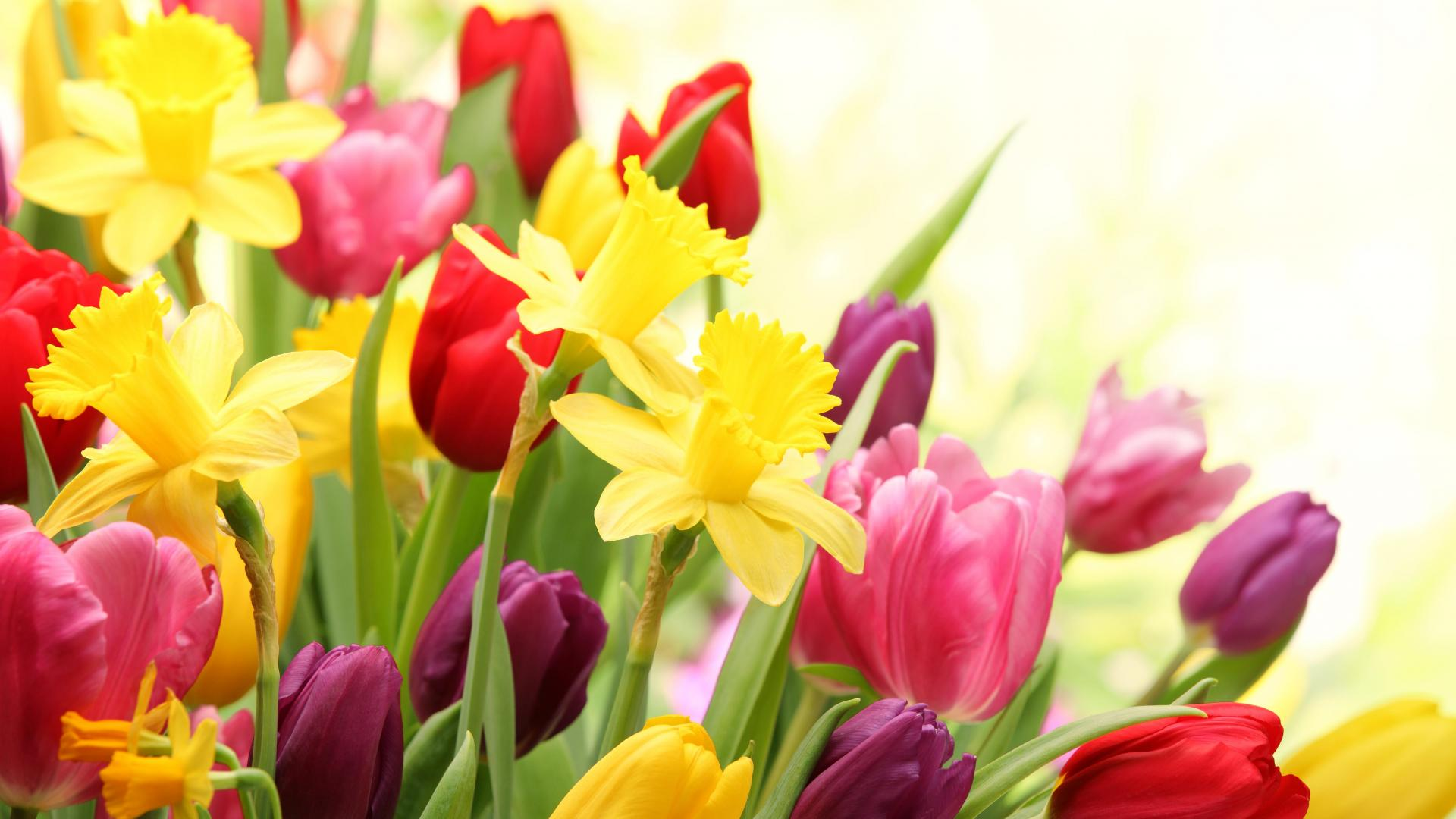 Spring Tulips Colorful Flowers Wallpaper Nauset Farms